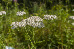 Gemeine Schafgarbe (Achillea Millefolium) Lizenzfreie Stockfotos
