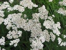 Gemeine Schafgarbe, Achillea-millefolium Stockbild