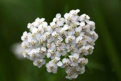Gemeine Schafgarbe (Achillea Millefolium) Stockbilder