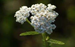 Gemeine Schafgarbe in der Blüte Stockbild