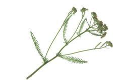 Gemeine Schafgarbe u. x28; Achillea-millefolium& x29; Lizenzfreie Stockfotos