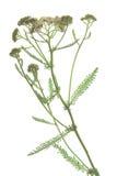 Gemeine Schafgarbe u. x28; Achillea-millefolium& x29; Stockfoto