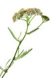 Gemeine Schafgarbe u. x28; Achillea-millefolium& x29; Stockfotos