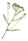Gemeine Schafgarbe u. x28; Achillea-millefolium& x29; Stockfotografie