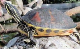 Gemeine Schildkröte Stockbild