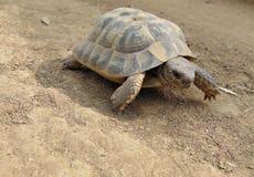 Gemeine Schildkröte, die aus den Grund an einem sonnigen Tag geht stockfotos