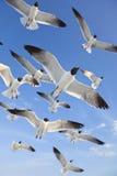 Gemeine schwarzköpfige Seemöven, die in blauen Himmel fliegen Lizenzfreies Stockfoto