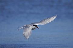 Gemeine Seeschwalbe, Sterna Hirundo lizenzfreie stockbilder