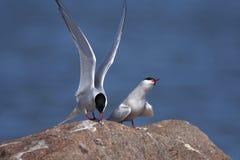 Gemeine Seeschwalbe, Sterna Hirundo stockfotografie