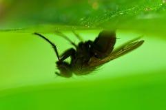 Gemeine Stubenfliege, fliegen umgedrehtes Lizenzfreies Stockbild