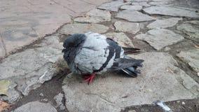 Gemeine Taube auf der Straße lizenzfreie stockfotos