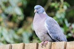 Gemeine Taube gesessen auf einem Zaun lizenzfreies stockfoto