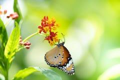 Gemeine Tigerbasisrecheneinheit auf Blume lizenzfreie stockbilder