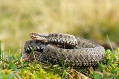 Gemeine Viper, die auf Wiese sich aalt Stockfotos