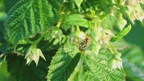 Gemeine Wespe (Vespula gemein) stock footage