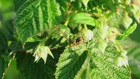 Gemeine Wespe (Vespula gemein) stock video
