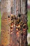 Gemeine Wespen, die Saft essen Stockbilder