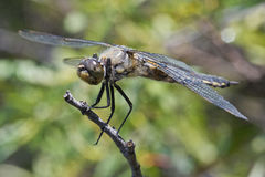Gemeine Whitetail-Libelle Lizenzfreies Stockbild