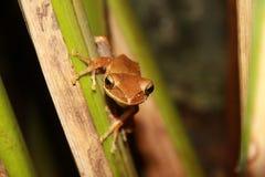 Gemeiner Baum-Frosch stockfotografie