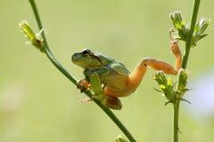 Gemeiner Baum-Frosch Lizenzfreies Stockfoto