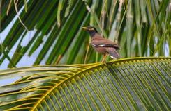 Gemeiner Beovogel auf Kokosnussbaum Stockfotos