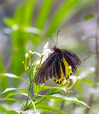 Gemeiner Birdwing-Schmetterling in einem Garten stockfotos