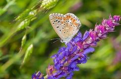 Gemeiner blauer Schmetterling auf einem wilden Salbei Lizenzfreie Stockfotografie