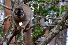 Gemeiner brauner Maki, Madagaskar Lizenzfreie Stockfotografie