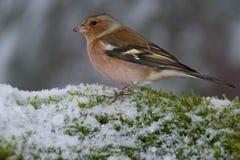 Gemeiner Buchfinkvogel auf schneebedecktem Moos stockfotografie