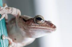 Gemeiner Bush-Frosch Stockbild