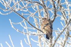 Gemeiner Bussard auf einem Zweig in einer Winterszene Stockbild
