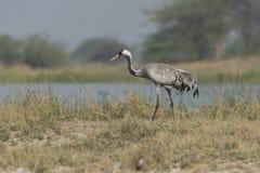 Gemeiner Crane Grus-Grus, der auf Land geht Lizenzfreies Stockbild