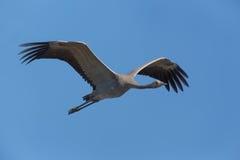 Gemeiner Crane Grus-Grus Stockbilder