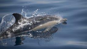 Gemeiner Delphin Lizenzfreies Stockfoto