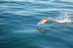 Gemeiner Delphin Lizenzfreie Stockfotos