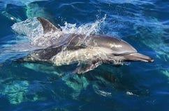 Gemeiner Delphin Pazifiks Stockbild