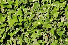 Gemeiner Efeu oder Hederaschneckenanhaftender immergrüner Rebstock pflanzten dicht, um Hausmauer mit Blättern als Beschaffenheit  lizenzfreie stockfotos