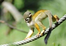 Gemeiner Eichhörnchen-Fallhammer Stockfotografie