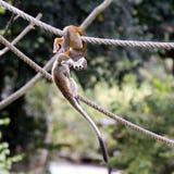 Gemeiner Eichhörnchen-Fallhammer Lizenzfreie Stockbilder
