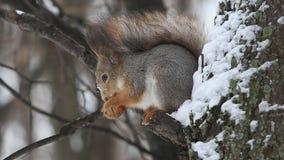 Gemeiner Eichhörnchen- oder Eurasiereichhörnchen Sciurus sitzt auf einer Niederlassung und isst eine Nuss stock footage