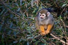 Gemeiner Eichhörnchenfallhammer Lizenzfreies Stockfoto