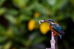 Gemeiner Eisvogel auf der Niederlassung, zum etwas für zu finden zu essen Stockfotos