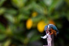 Gemeiner Eisvogel auf der Niederlassung, zum etwas für zu finden zu essen Stockfoto