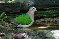 Gemeiner Emerald Dove-Vogel Lizenzfreie Stockfotos