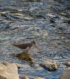Gemeiner Flussuferläufer Stockbild