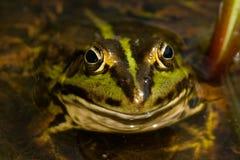 Gemeiner Frosch Lizenzfreie Stockfotografie
