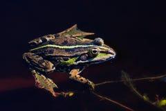 Gemeiner Frosch Stockbild