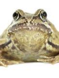 Gemeiner Frosch stockfotos