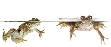Gemeiner Frosch Stockfoto