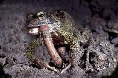 Gemeiner Frosch, der ein Erde-wom isst Stockfotografie
